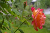 Dew-Dropped Rose