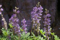 Yosemite Lavender