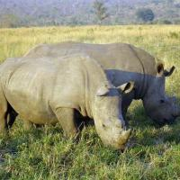 Printable A Pair of Rhinos - Printable Nature Pictures - Free Printable Pictures