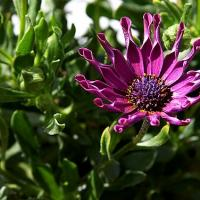 African Daisy Plant