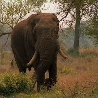 African Elephant With Horns