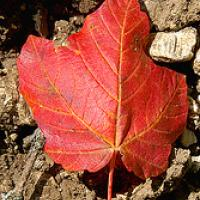 Autumn Maple Leaf On The Ground