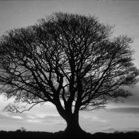 Black And White Big Tree