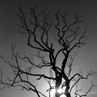 Black And White Dead Tree Image