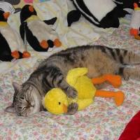 Cat Sleeping with Chick Toy