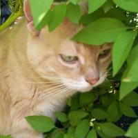 Cat Under Lilac Bush