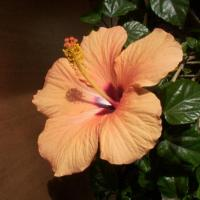 Printable Chinese Hibiscus - Printable Nature Pictures - Free Printable Pictures