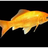 Classic Goldfish