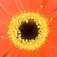 Close Up Of Gerbera