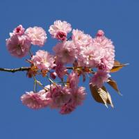 Close Up Of Japanese Flowering Cherry Flower