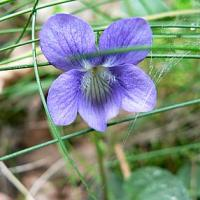 Common Dog Violet