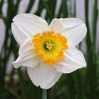 Printable Daffodil - Printable Nature Pictures - Free Printable Pictures