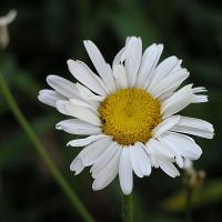 Printable Daisy - Printable Nature Pictures - Free Printable Pictures