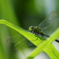 Printable Dragonfly - Printable Photos - Free Printable Pictures
