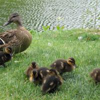 Printable Duck With Ducklings - Printable Pics - Free Printable Pictures
