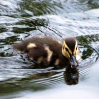 Duckling On A Pond