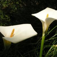 Printable Easter Lilies - Printable Nature Pictures - Free Printable Pictures