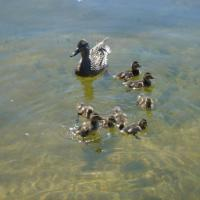 Printable Family of Ducks - Printable Nature Pictures - Free Printable Pictures