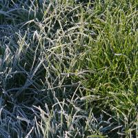 Frosty Grass