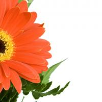 Printable Gerbera - Printable Flower - Free Printable Crafts