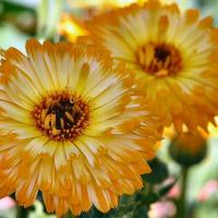 Printable Golden Chrysanthemums - Printable Nature Pictures - Free Printable Pictures