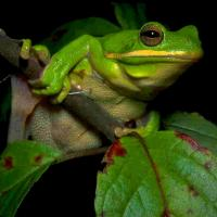 Printable Green Frog - Printable Nature Pictures - Free Printable Pictures