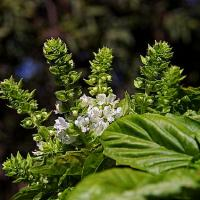 Herbs Blooming Basil