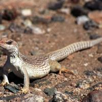 Lizard in Desert