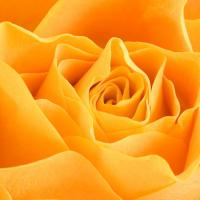 Orange Rose