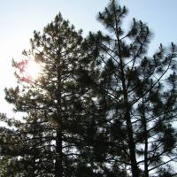 Printable Pine Trees - Printable Nature Pictures - Free Printable Pictures
