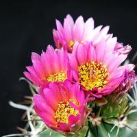 Pink Cactus Flower