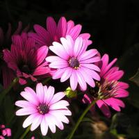 Printable Pink Gerbera Daisy - Printable Nature Pictures - Free Printable Pictures