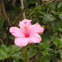 Printable Pink Hibiscus - Printable Nature Pictures - Free Printable Pictures