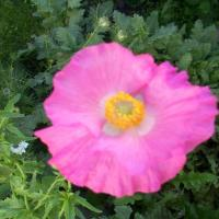 Pink Poppy
