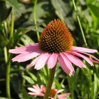 Printable Purple Coneflower - Printable Nature Pictures - Free Printable Pictures