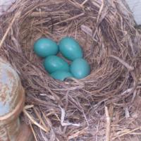 Robin Egg Nest