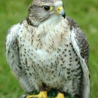 Printable Saker Falcon - Printable Nature Pictures - Free Printable Pictures