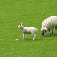 Printable Sheep And Lamb - Printable Pics - Free Printable Pictures