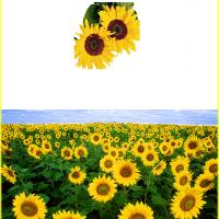 Printable Sunflower Field Card - Printable Greeting Cards - Free Printable Cards