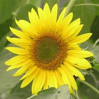 Printable Sunflower - Printable Nature Pictures - Free Printable Pictures