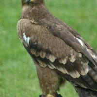 Tawny Eagle