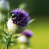 Thistle With A Bee