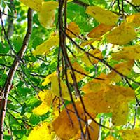 Tree With Yellow Leaves Bookmark