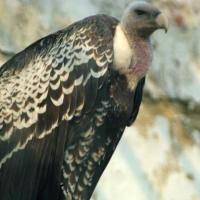 Printable Vulture - Printable Nature Pictures - Free Printable Pictures