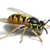 Printable Wasp - Printable Nature Pictures - Free Printable Pictures