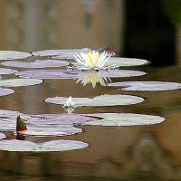 Printable Water Lily On The Pond - Printable Flower - Free Printable Crafts