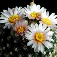 White Cactus Flower