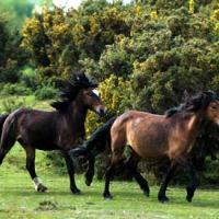 Printable Wild Horses from England - Printable Nature Pictures - Free Printable Pictures