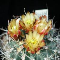 Yellow Cactus Flower