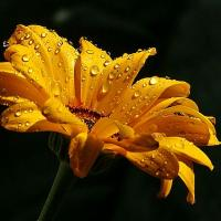 Yellow Daisy With Raindrops